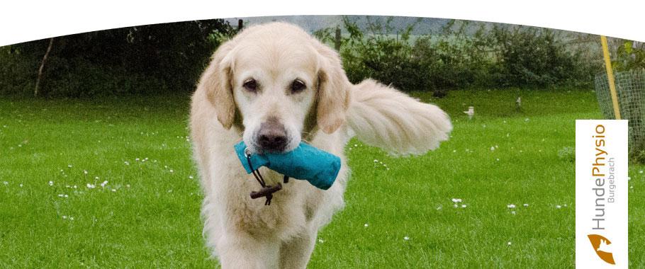 ellbogendysplasie beim hund